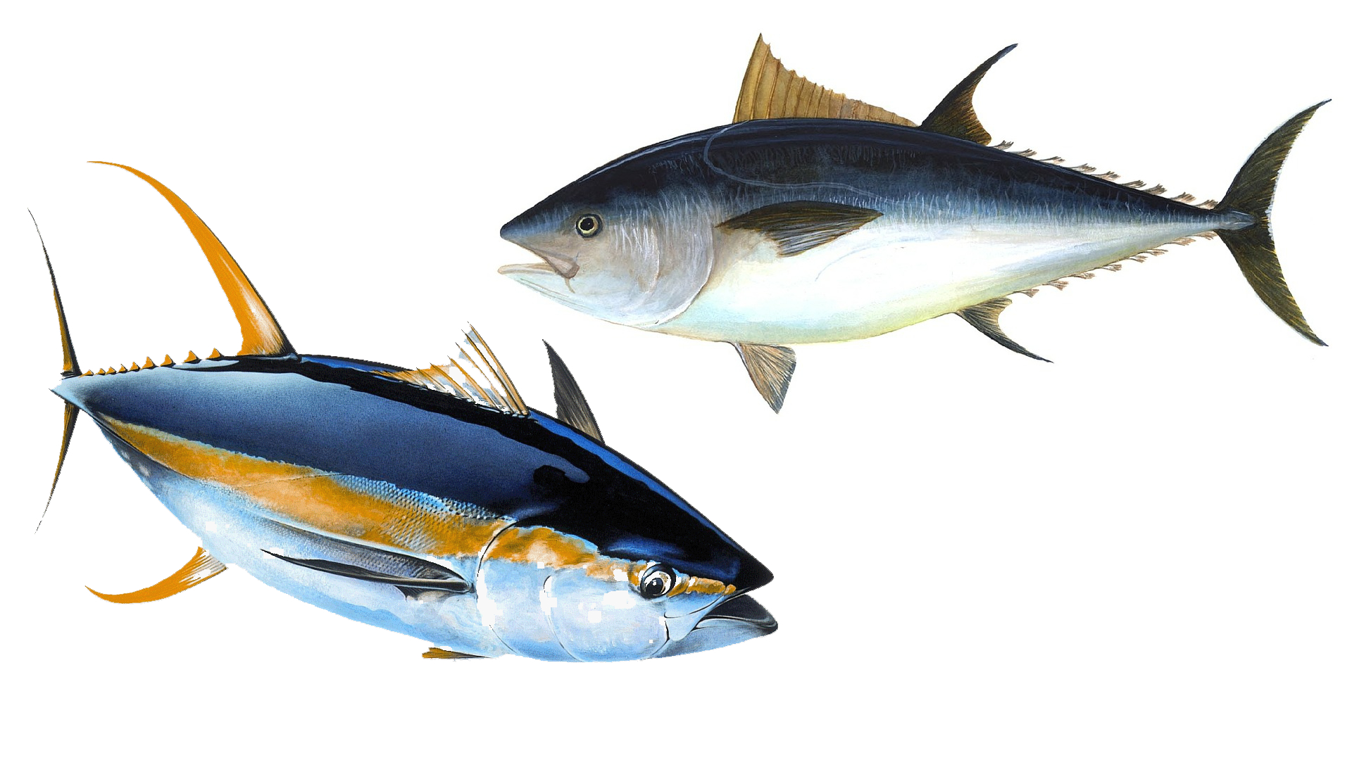 illustrations of bigeye and yellowfin tuna