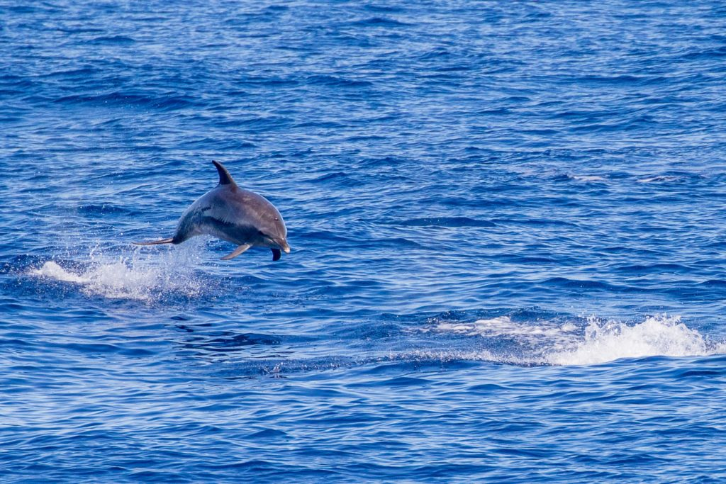 A bottlenosed dolphin jumping out of the water