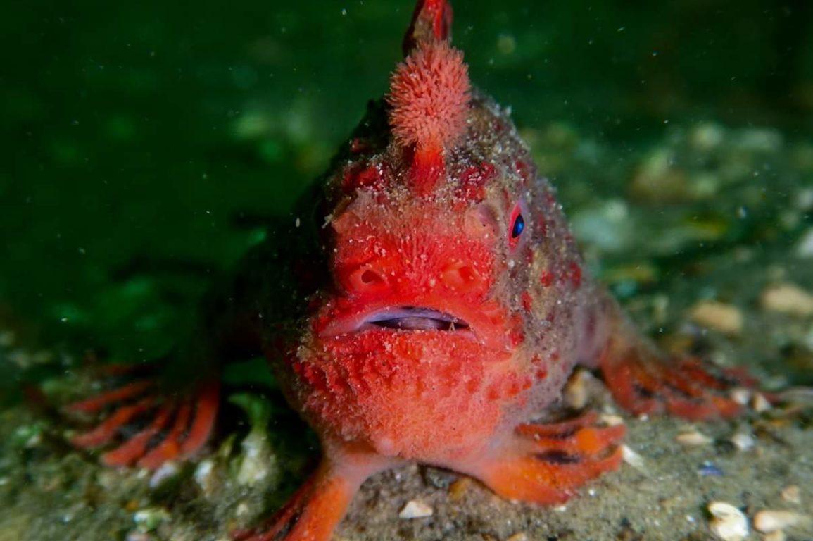 Red handfish underwater