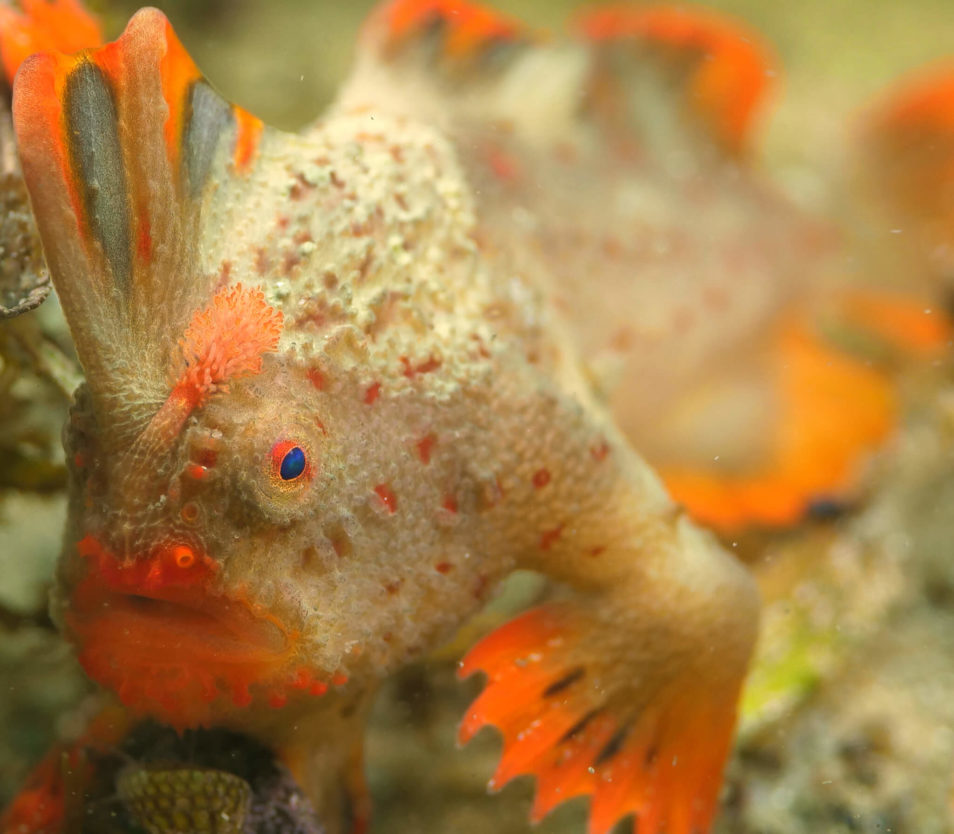 Red handfish with eggs attached to its body