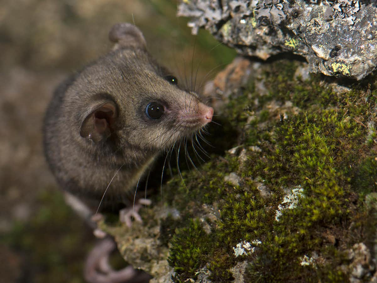 A small possum climbing on a mossy rock