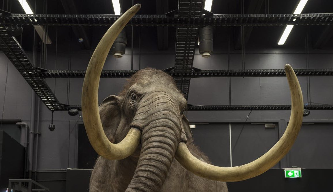 wooly mammoth exhibit at the australian museum