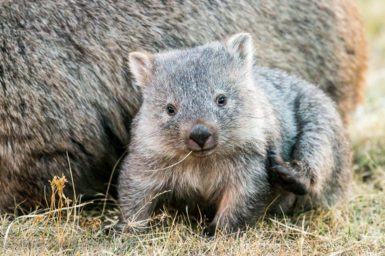 It's Wombat Wednesday - festive edition!