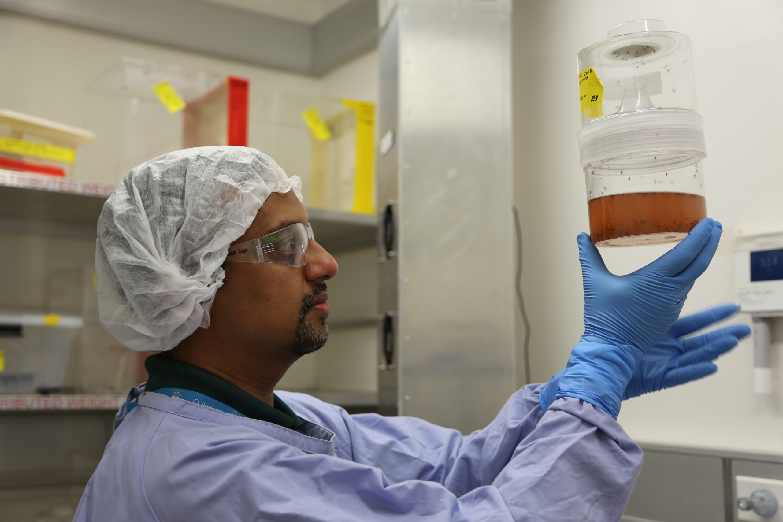 A man in a hairnet, lab coat, safety goggles and blue gloves holds up a container filled with water, mosquito larvae and hatched mosquitoes.