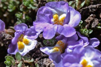 Purple creeping monkey flower