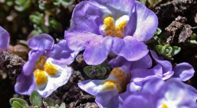 Purple creeping monkey flower