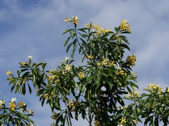 Frangipani trees have low flammability and are good to plant in bushfire prone areas