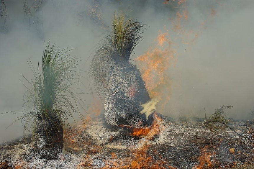 Grass trees can grow back after bushfires