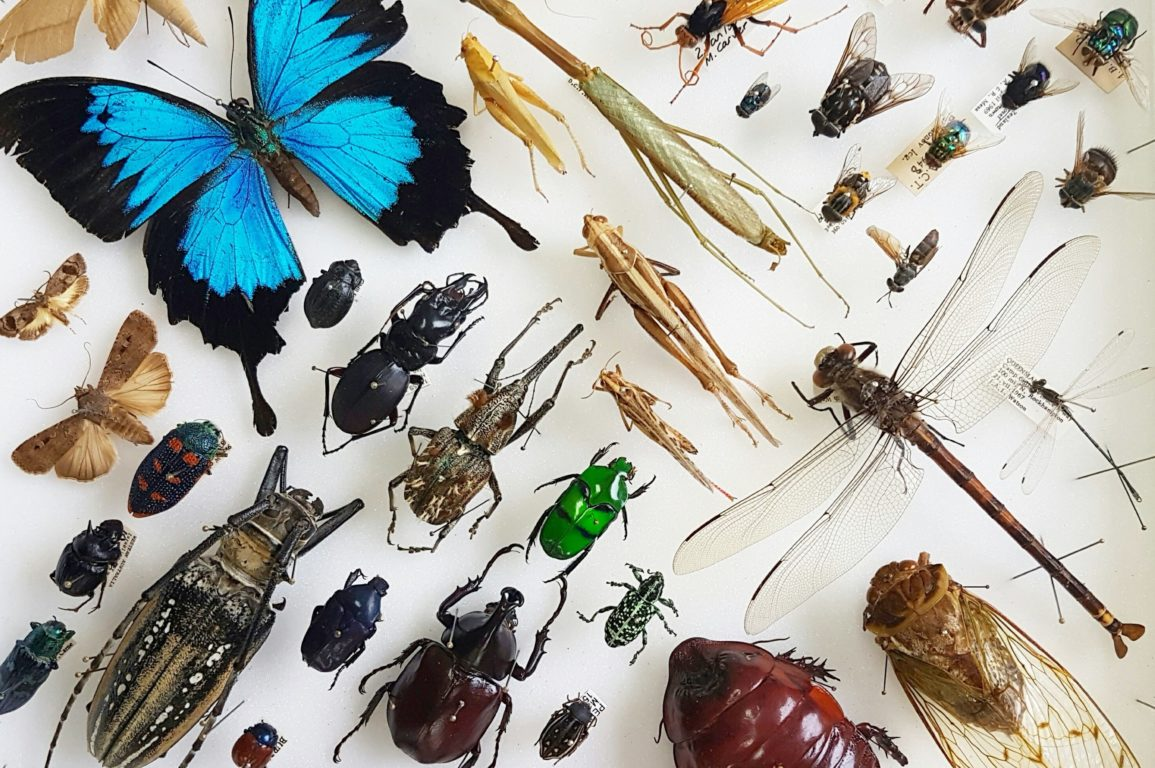 Tray of pinned insects in the Autralian National Insect Collection showing the huge variety of different species.