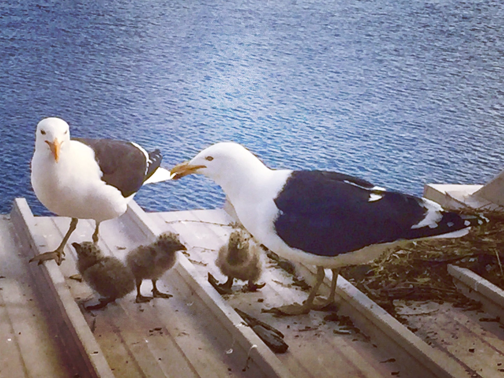 Kelp gulls feed with their chicks on a roof with water in the background