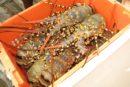 lobsters in an orange plastic box