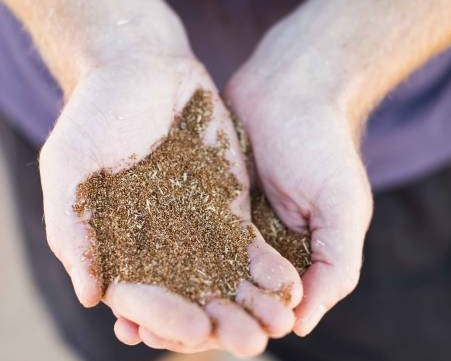 Person's hands holding teff grains