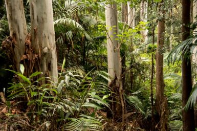 image of a forest showing tree trunks and the forest floor with ferns