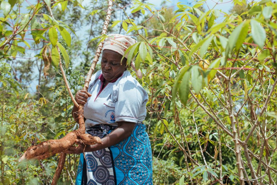Woman harvests cassava tuber.