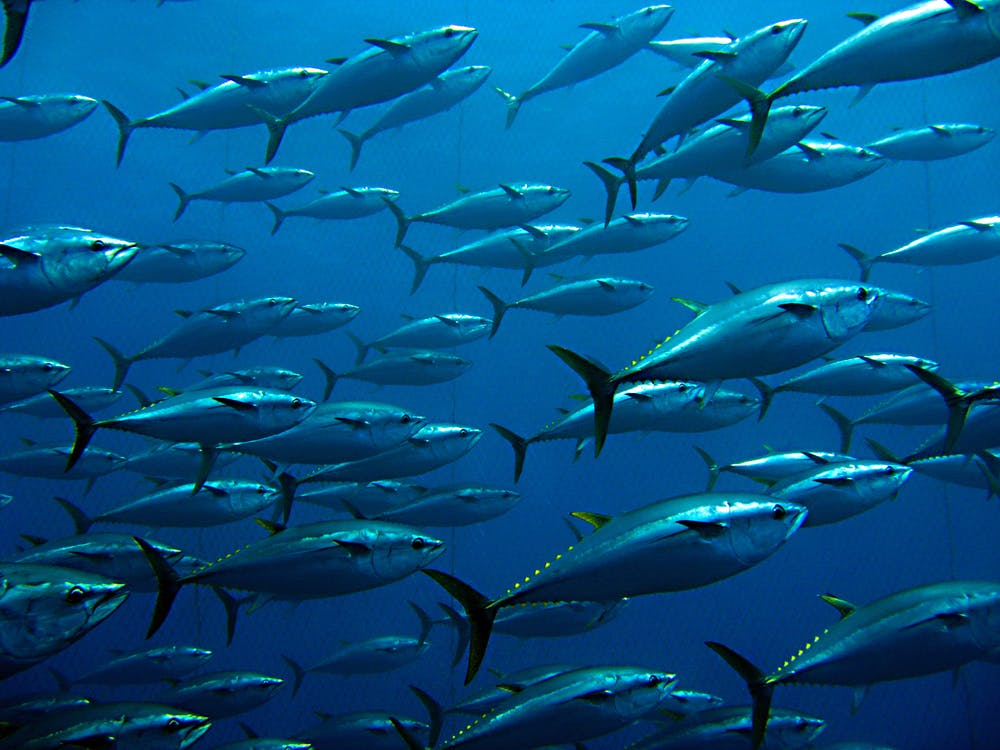 underwater photo of a school of tuna