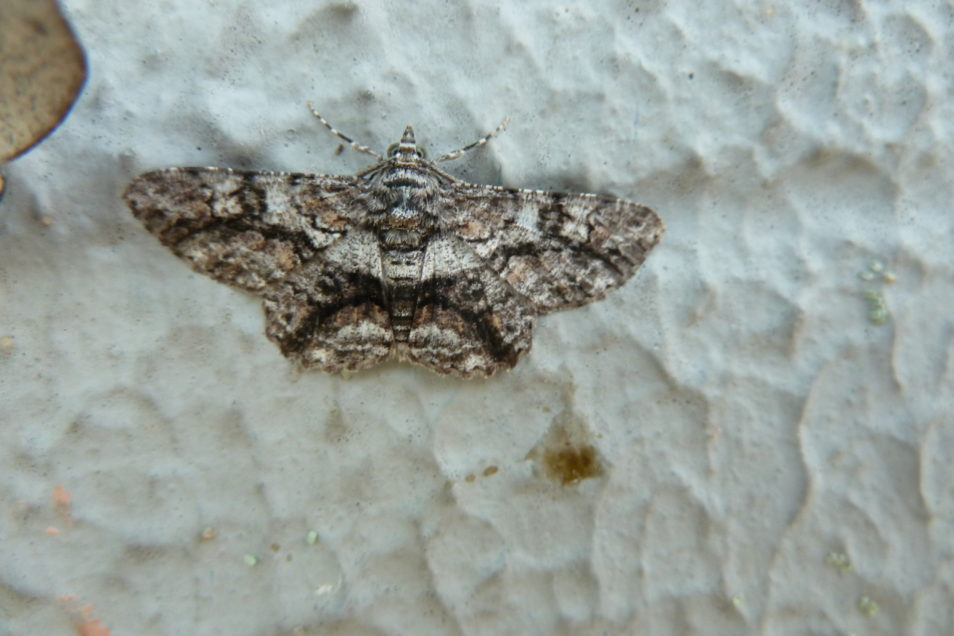 Close up of a moth with its wings spread flat, resting on the external wall of a bank branch
