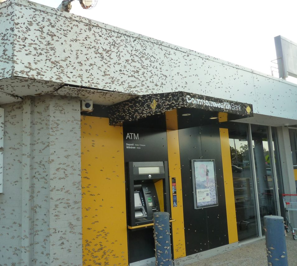 Moths covering the a Commonwealth Bank branch building in Queensland.
