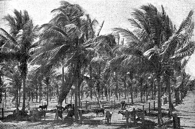 palm trees with diseased cattle