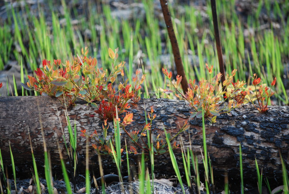 plants sprouting from a burned log