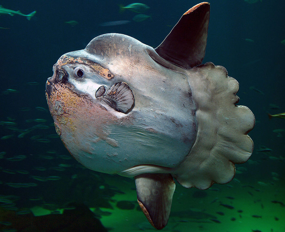 A close up of the ocean sunfish