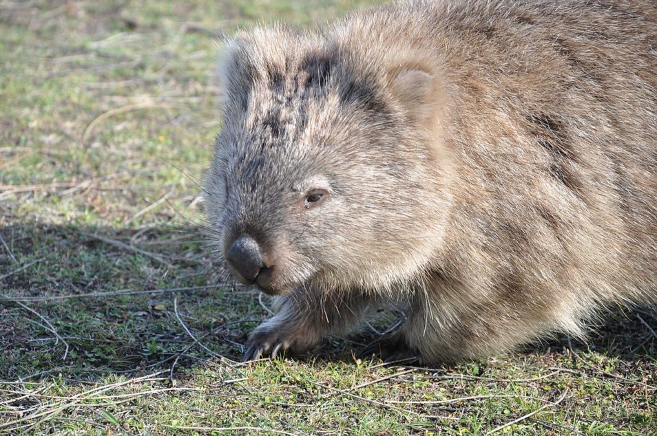 A common wombat walking to the left