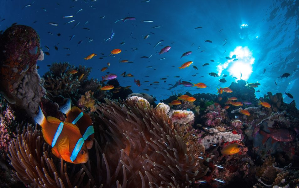 Fish swimming in the Great Barrier Reef