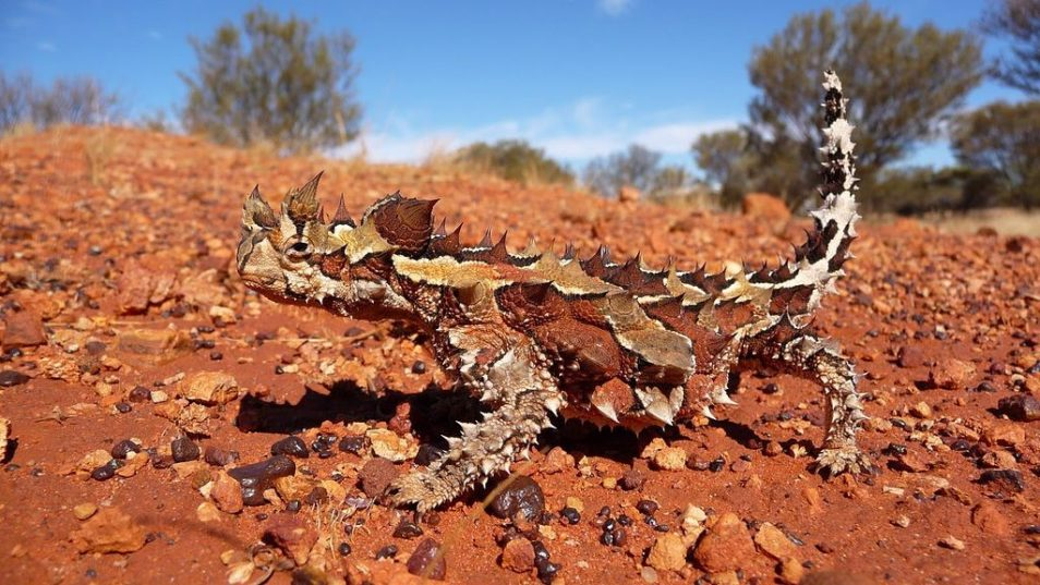 thorny devil lizard blending in to the ground of red earth