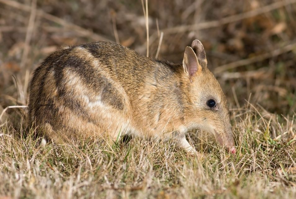 bandicoot eating grass
