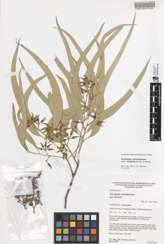 Eucalyptus camaldulensis (River Red Gum) leaf specimens in the Australian National Herbarium.