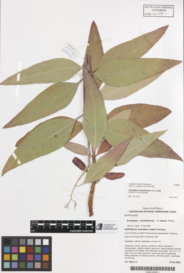 Eucalyptus camaldulensis (River Red Gum) leaf specimens in the Australian National Herbarium
