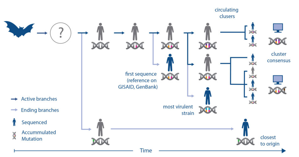 Chart with graphics of bat, humans and double helix icons representing the flow of genomics considerations for choosing the right virus strain for animal models.