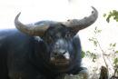 A water buffalo in Northern Australia.