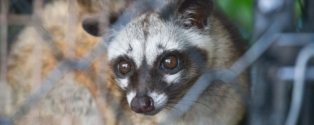 A civet cat looking into the camera
