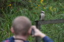 person taking a photo of a kookaburra on a fence