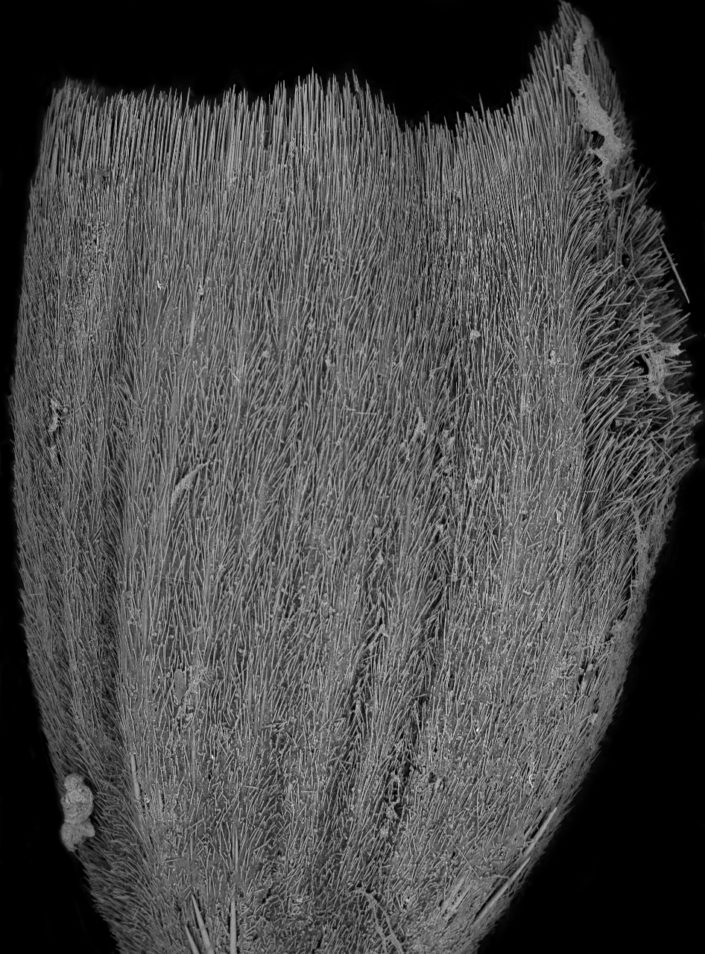 Black and white image of a sea sponge that looks like a spiky fin