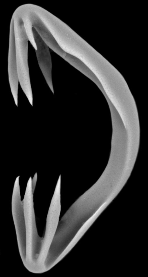 Black and white image of sea sponge that looks like opened jaws