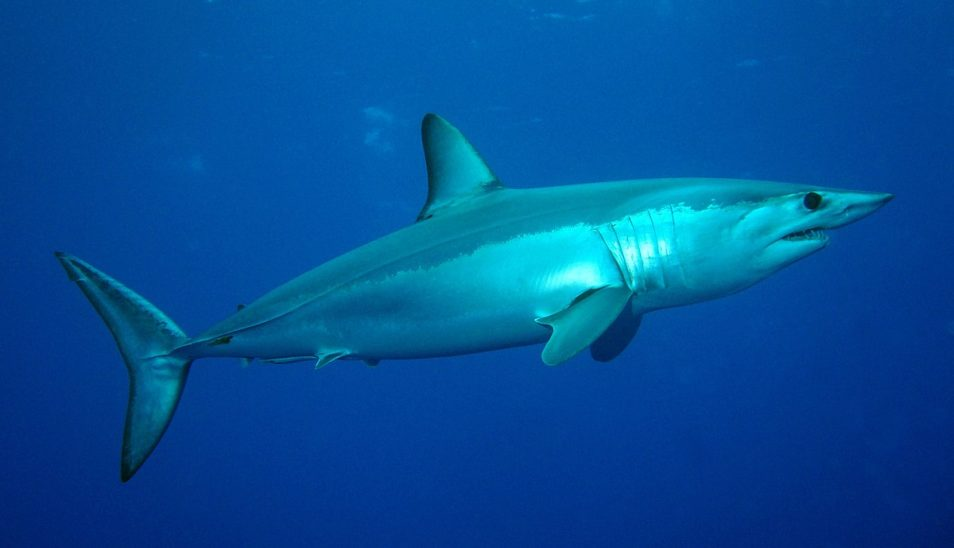 Mako shark in the ocean
