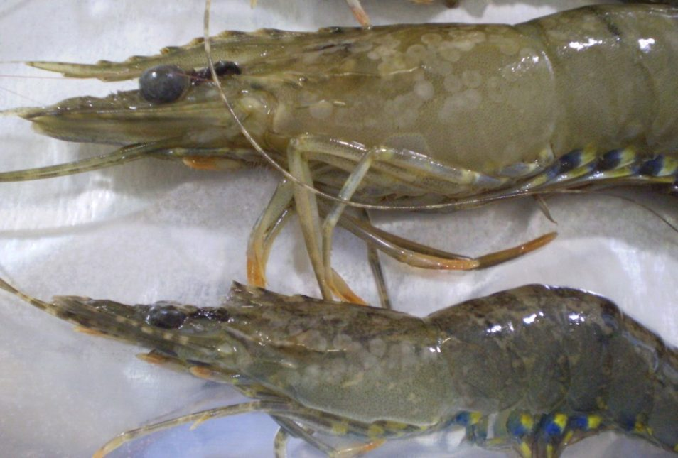 prawns infected with white spot animal disease