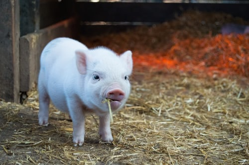 piglet eating straw in pen