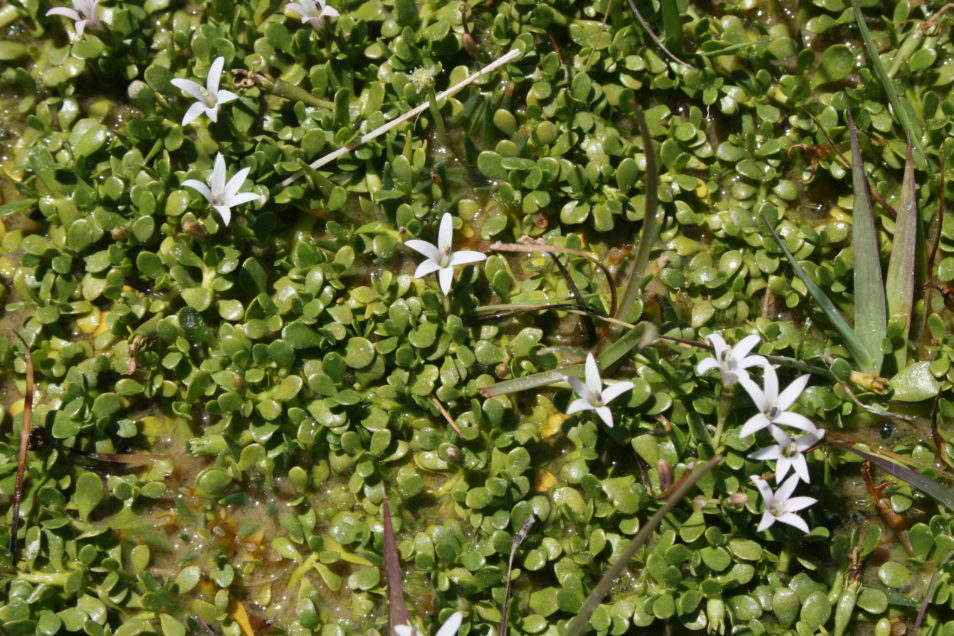 A close up photo of the newly names species of plant, Lobelia fontana