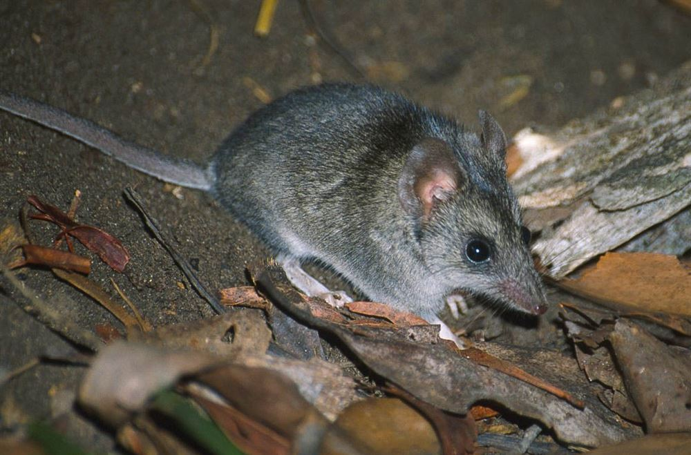 The Kangaroo Island dunnart. Exclusively found on Kangaroo Island in South Australia.