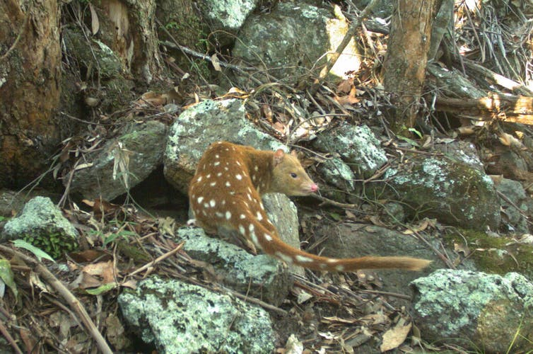 A spotted quoll caught in a trap