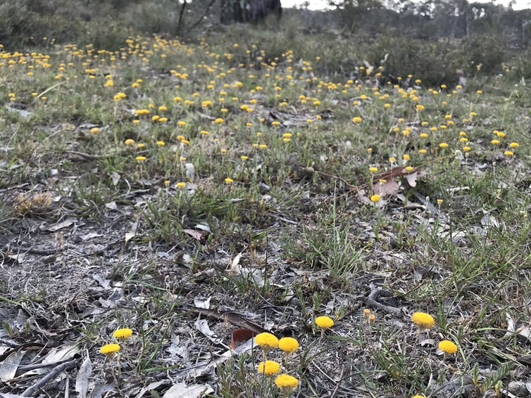 Yellow flowers grow across the ground