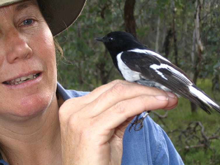 A black and white bird sits on the hand of a researcher