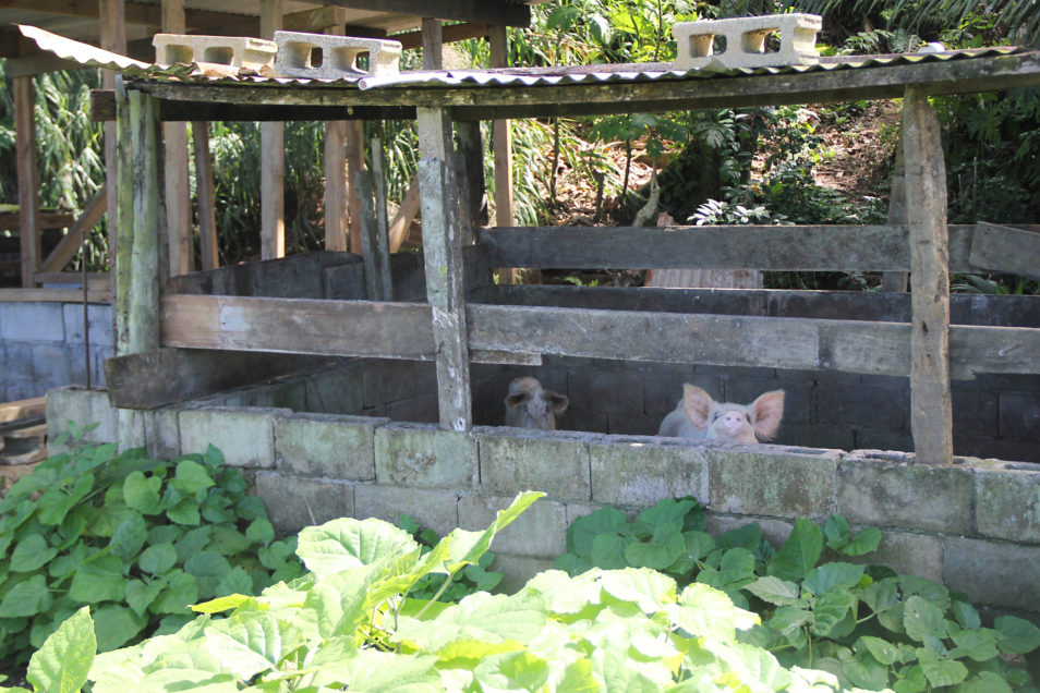A pig looks over a wooden fence on a Fijian pig farm