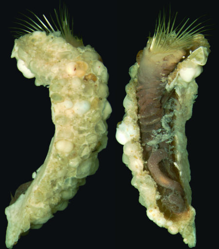 Polychaete worm Phalacrostemma timoharai