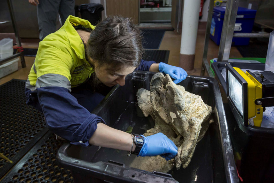 A scientist picks polychaete worms out of a whale skull hauled from the the abyss