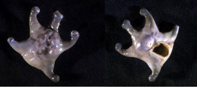 front and back of Marine cnidarian Epizoanthus gorgonus