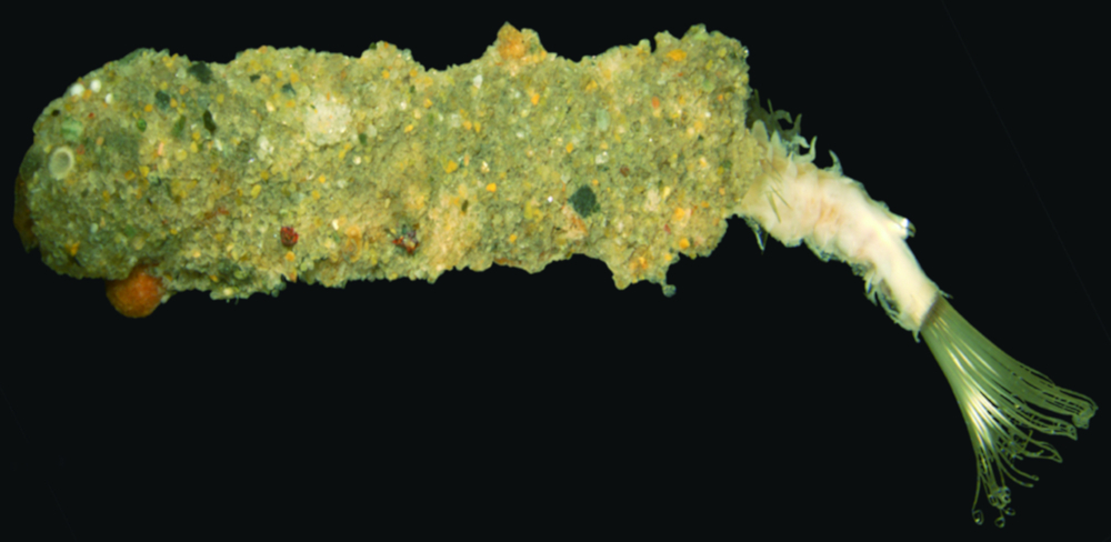 Polychaete worm specimen that looks a bit like a crumbed prawn cutlet