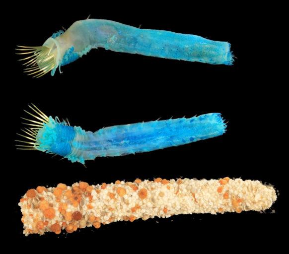 Three Petta investigatoris Polychaete worm specimens